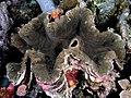 Giant clam tridacna komodo.jpg