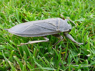 Belostomatidae family of insects