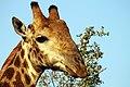 Giraffe, Kruger National Park, South Africa (14800286348).jpg