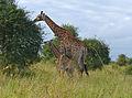 Giraffes (Giraffa camelopardalis) female and calf (14007572496).jpg