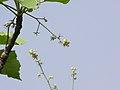 Givotia moluccana 01.jpg