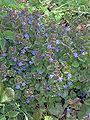 Glechoma hederacea, Hondsdraf.jpg
