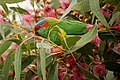 Glossopsitta concinna -blossom -Australia-8b.jpg