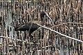 Glossy Ibis (immature) Anahuac NWR-Shoveler Loop TX 2018-04-24 13-44-39 (40249804860).jpg