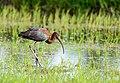 Glossy ibis@ koonthankulam.jpg