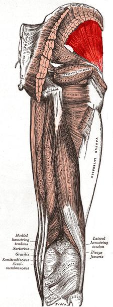 musculus gluteus minimus (červeně)