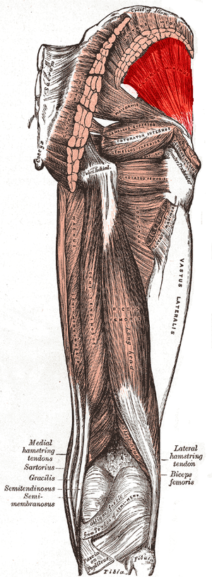 Gluteus minimus muscle - Muscles of the gluteal and posterior femoral regions with gluteus minimus muscle highlighted.