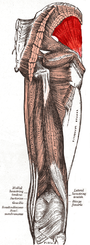 Gluteus minimus muscle.PNG