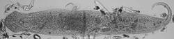 Gnathostomula paradoxa Sylt.tif