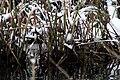 Goldcrest - Winter - Mote Park, Maidstone, Kent, UK.JPG