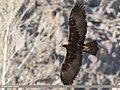 Golden Eagle (Aquila chrysaetos) (40025879643).jpg