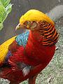 Golden Pheasant 09.jpg