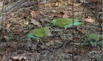 Golden-shouldered parrot - Wild females at Artemis Station, Cape York Peninsula.