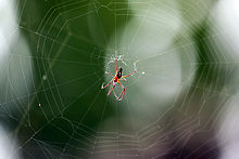 Golden silk orb-weaver spider Nephila clavipes) male.jpg