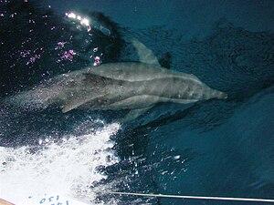 Ilha Grande - Image: Golfinho que acompanhou nosso barco (1376042755)