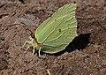 Gonepteryx rhamni (27952635357).jpg