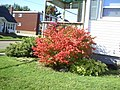 Gorgeous Red Leaves on This Bush (3181573459).jpg