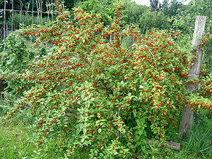 Being A Green Mama Growing Goumi Berries