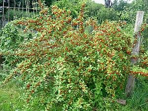 Being A Green Mama Growing Goumi Berries