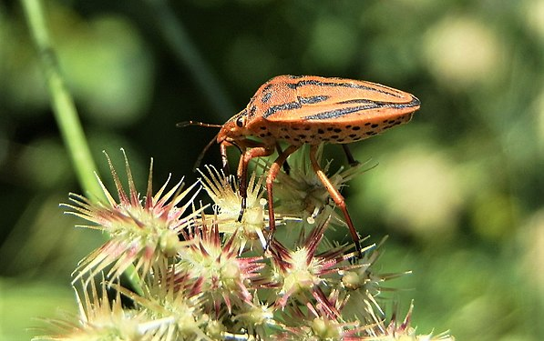 Graphosoma lineatum in Yerevan (2).jpg