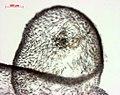 Grateloupia (AM AK295222-5).jpg