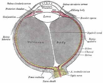 Fibrous tunic of eyeball - Horizontal section of the eyeball. (Cornea labeled at top, sclera labeled at center right.)