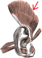 Gray906 - Superior auricular muscle2.png