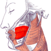 Gray — musculus buccinator.png
