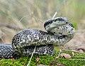 Gray Ratsnake (Pantherophis spiloides) (43567652625) (cropped).jpg