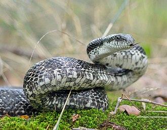 Gray ratsnake - Image: Gray Ratsnake (Pantherophis spiloides) (43567652625) (cropped)