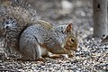 Gray squirrel foraging on the ground (44078428710).jpg