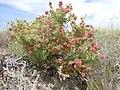 Grayia spinosa (5063314312).jpg