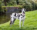 Great-dane-dog-1365445651zZJ.jpg