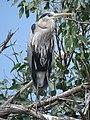 Great Blue Heron (34802044961).jpg