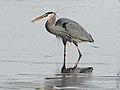 Great Blue Heron - Ardea herodias, Blackwater National Wildlife Refuge, Church Creek, Maryland (24480066547).jpg