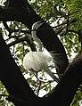 Great Egret Ardea alba by Dr. Raju Kasambe DSCN5044 (1).jpg