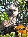 Great Horned Owl Hatchling (5618861013).jpg
