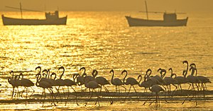 Greater flamingo - Image: Greater Flamingos at Kutch