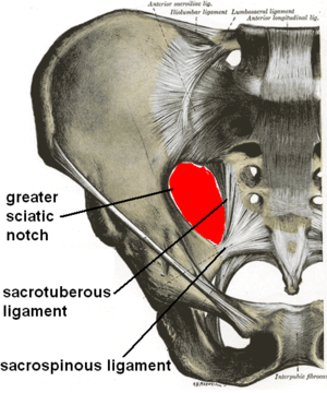 Sacrotuberous ligament - Articulations of pelvis, anterior view, with greater sciatic foramen (labeled in red) and its boundaries.