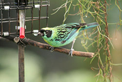 Green-and-Gold Tanager.jpg