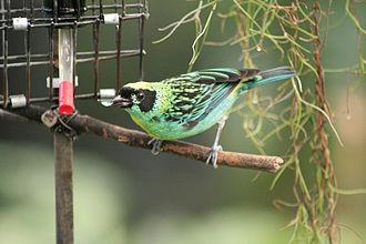 Tangara (genus) - Green-and-gold tanager, Tangara schrankii