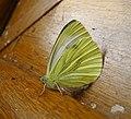 Green-veined White (49132845326).jpg