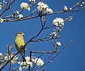 Green Finch (13269570155).jpg