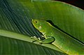 Green Iguana (Iguana iguana) juvenile (10460027914).jpg