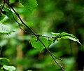 Green leaves (169983326).jpg