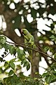 Green parrot is eating fruit.jpg