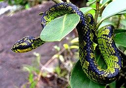 Green pit viper endemic to Sri Lanka.jpg