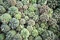 Greenhouses in qom عکس های گلخانه دنیای خار در روستای مبارک آباد قم 08.jpg