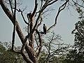 Greifvogel Yala National Park 2017-10-26 (7).jpg