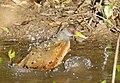 Grey-necked Wood Rail (Aramides cajaneus) bathing ... (48376000571).jpg